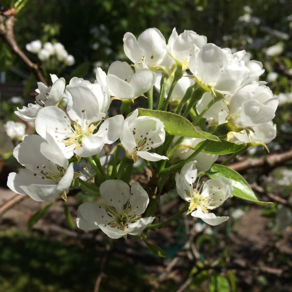 blomstrrendefrugttraer