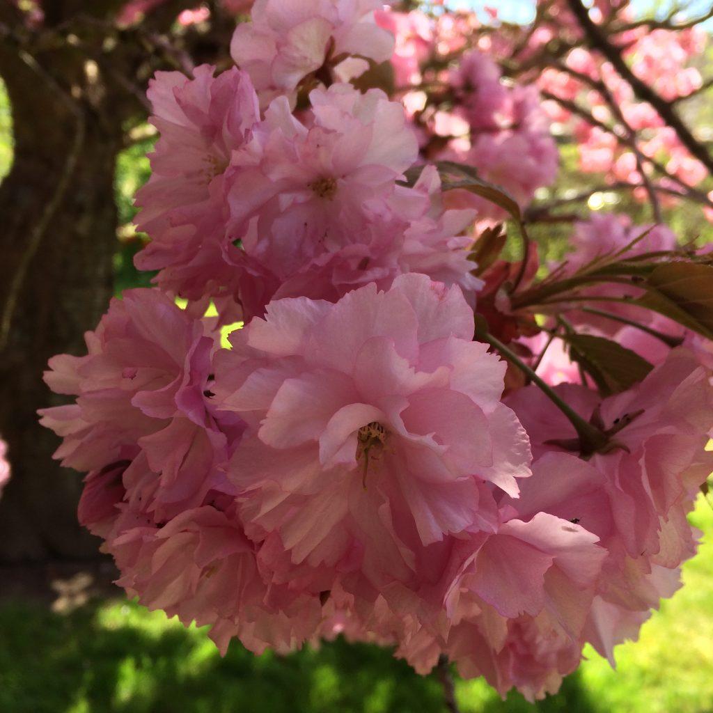 japanskkirsebaerblomst